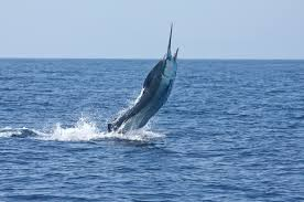Marlin Fishing Hawaii