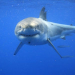 About Great White Sharks
